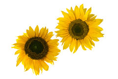 Sunflowers resembling gears, isolated on white Stock Images