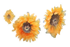 Sunflowers ringsd watercolor isolated. A watercolor drawing of three bright golden sunflowers with green leaves, on blue background, vintage style botanical art Stock Photos