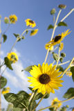 Sunflowers Rising Vertically Stock Images