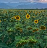 Sunflowers. By the road stock images