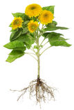 Sunflowers roots isolated Stock Images