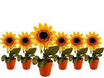 Sunflowers row. On white background Royalty Free Stock Images