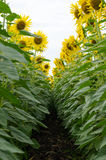Sunflowers. Row of sunflowers in a flower field Royalty Free Stock Photography