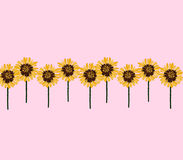 Sunflowers row on pink background. Stock Photo
