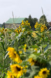 Sunflowers in Rural Garden. Sunflower plants in bloom in a rural flower garden with barn visible in background. Corn stalks evident in garden Stock Images