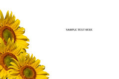 Sunflowers and sample text on white background Stock Photography