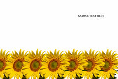 Sunflowers and sample text on white background Royalty Free Stock Photos