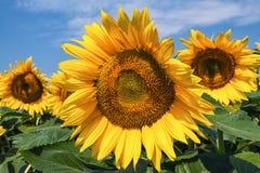 Sunflowers scene. Stock Photography