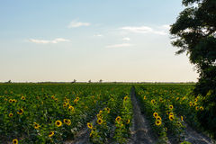 Sunflowers sea, sky, forest Royalty Free Stock Photos