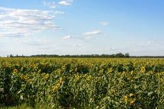 Sunflowers sea, sky, forest Stock Image