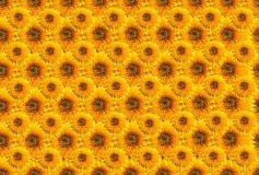 Sunflowers. A seamless background Stock Photos