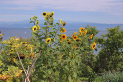 Sunflowers seascape scene. Sunflowers and sea in the background Stock Photo