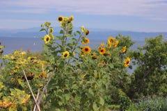 Sunflowers seascape scene Stock Photo