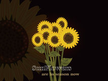 Sunflowers are in season now !! Stock Photos