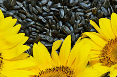 Sunflowers and seeds Stock Images