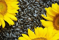 Sunflowers on seeds Stock Photo