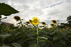 Sunflowers (Select focus) with flash lighting. Helianthus or Sunflowers (Select focus) with flash lighting in the twilight time stock image