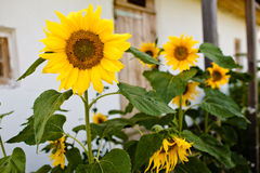 Sunflowers, selective focus on single sunflower Stock Photography