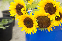 Sunflowers selling Stock Photo