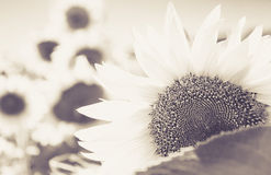 sepia effected shy sunflower Royalty Free Stock Photos