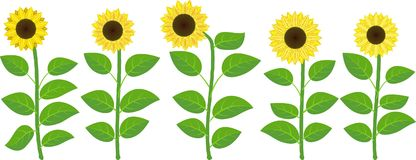 Sunflowers. Set of isolated sunflowers - vector illustration Royalty Free Stock Photography
