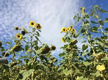 Sunflowers with sheep clouds Royalty Free Stock Image