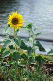 Sunflowers shot against water. Bright flower with second undisclosed one Stock Photos