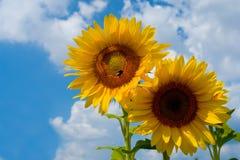 Sunflowers on sky Stock Photos