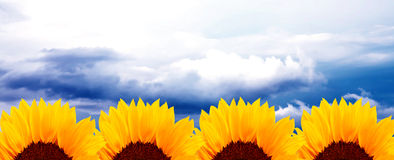 Sunflowers and sky Royalty Free Stock Photography