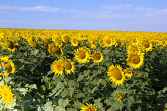 Sunflowers and sky Royalty Free Stock Images