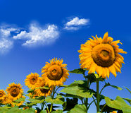 Sunflowers on sky Stock Photography