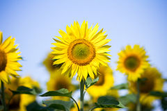 Sunflowers on the sky background Royalty Free Stock Photo