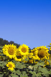 Sunflowers and sky (room for text) Royalty Free Stock Photo
