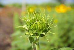 Sunflowers on sky of thailand. Sunflowers on sky blue of thailand Stock Photos