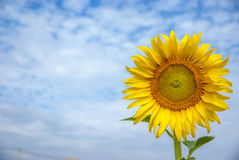 Sunflowers on sky of thailand. Sunflowers on sky blue of thailand Royalty Free Stock Images