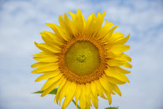 Sunflowers on sky of thailand. Sunflowers on sky blue of thailand Stock Images