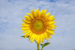 Sunflowers on sky of thailand. Sunflowers on sky blue of thailand Royalty Free Stock Photography