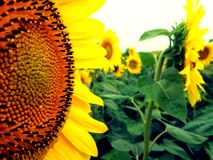 Sunflowers is Smiles!. You can see how sunflower seeds grow on Macro Royalty Free Stock Photo