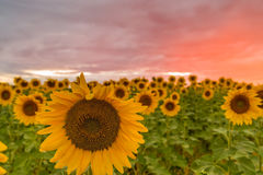 Sunflowers soaking up the sun during summertime. A beautiful sunflower field blooming at the height of summer Stock Images
