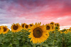 Sunflowers soaking up the sun during summertime. A beautiful sunflower field blooming at the height of summer Stock Image