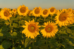 Sunflowers soaking up the sun during summertime. A beautiful sunflower field blooming at the height of summer Stock Photography