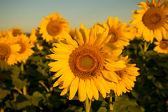 Sunflowers soaking up the sun during summertime. A beautiful sunflower field blooming at the height of summer Royalty Free Stock Images