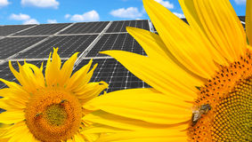 Sunflowers with solar energy panels. Sunflowers with honey bee in the background solar energy panels Royalty Free Stock Photo