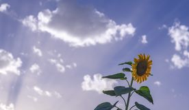 Sunflowers sometimes grow a lot above the rest royalty free stock photo