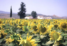 Sunflowers of Spain. Field of Sunflowers with a Cortijo Farmhouse in the Background in Andalucia, southern Spain Stock Image