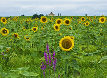 Sunflowers, St-Estephe, France. Sunflowers, wildflowers, vineyards, old stone building near St-Estephe, France Stock Photography