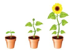 Sunflowers - stages of growth. Illustration of sunflower through stages of growth, seedling, bud and bloom, isolated on white background with copy space Royalty Free Stock Photo