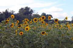 Sunflowers Standing Tall Royalty Free Stock Image