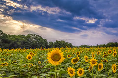 Sunflowers and Storm Clouds. A field of blooming sunflowers shines brightly under an ominous sky royalty free stock photo