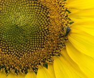 Sunflower, Pollen and Honey Bee. Sunflowers are so striking at different times of there growth cycle. I love the natural patterns. Always a plus when an insect stock photo